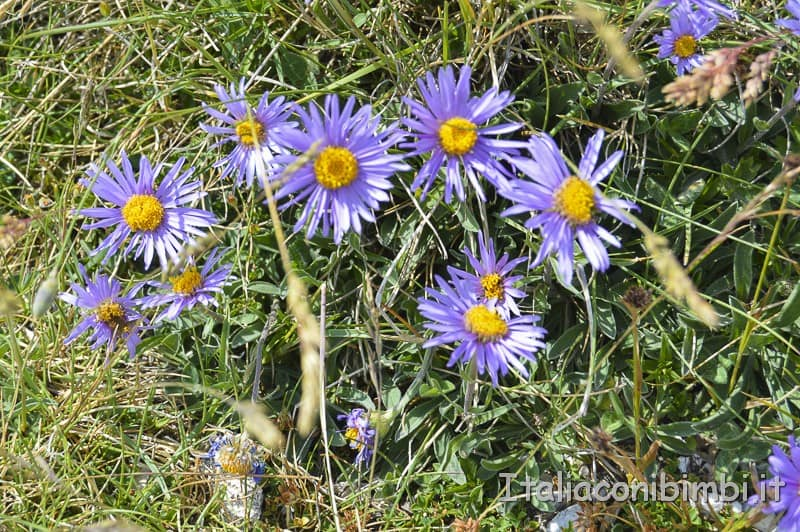 Campo Imperatore- fiorellini lilla