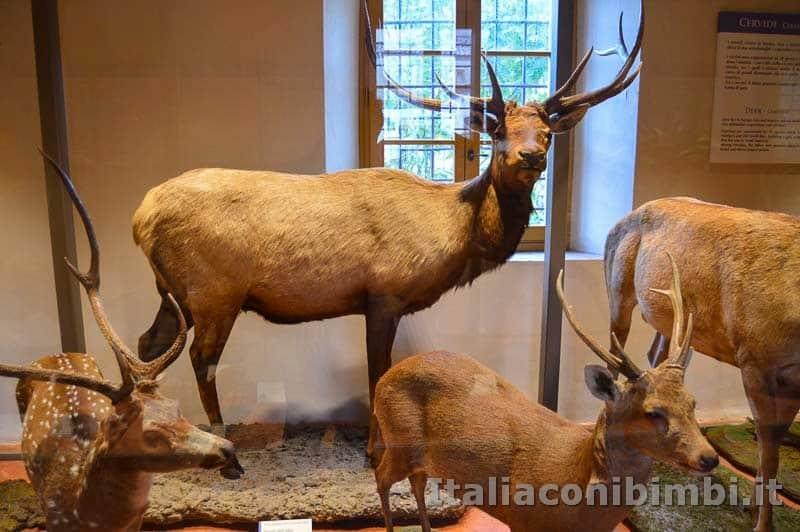 Museo di storia naturale di Pisa - cerbiatti e cervi