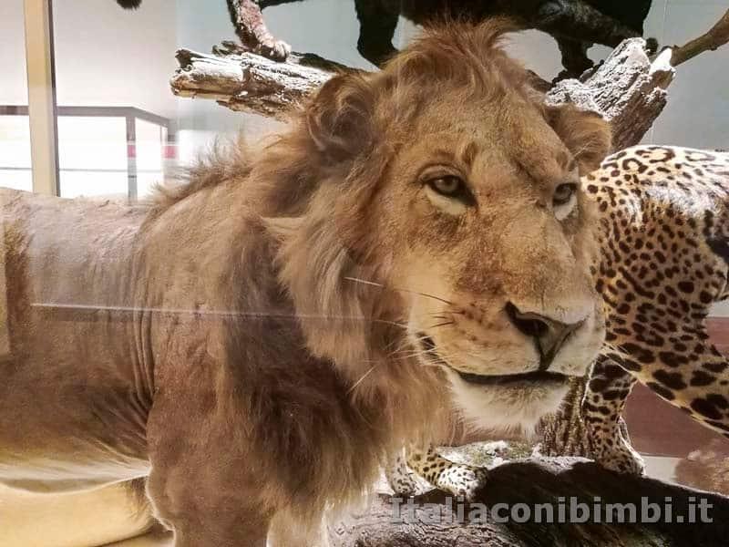 Museo delle di storia naturale di Pisa - leone