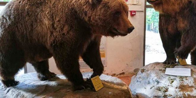 Museo-di-storia-naturale-di-Pisa-orsi-bruni