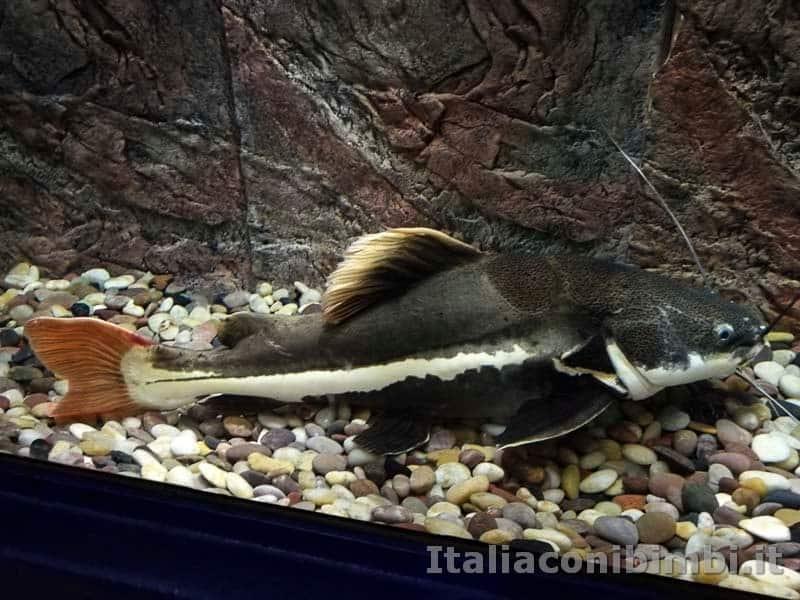 Museo-delle-di-storia-naturale-di-Pisa-pesce-gatto