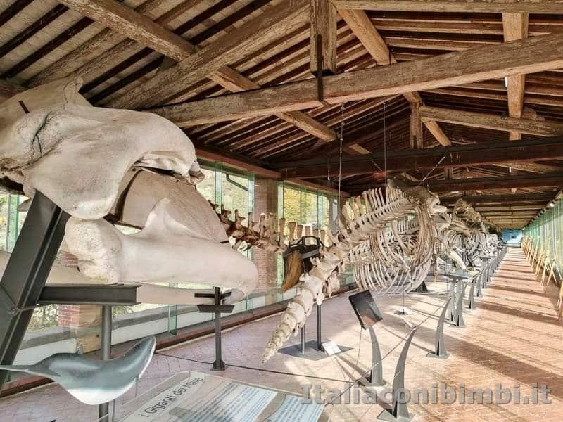 Museo di storia naturale di Pisa - scheletri di cetacei