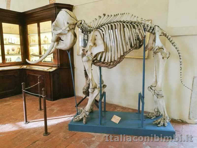 Museo di storia naturale di Pisa - scheletro di elefante