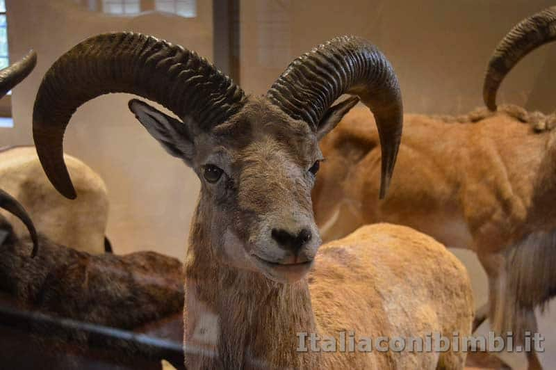 Museo-di storia naturale di Pisa - stambecco