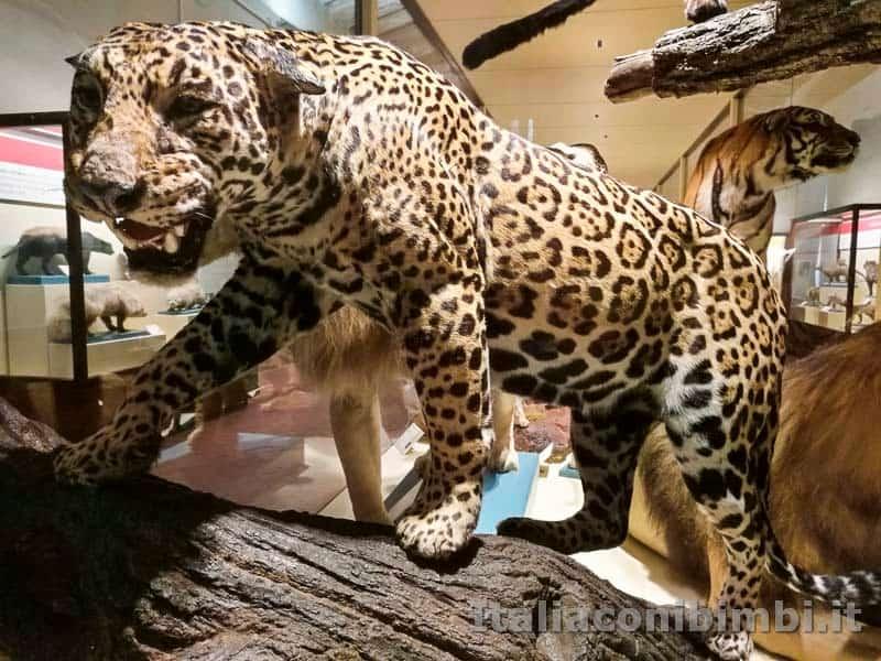 Museo-di-storia-naturale-di-Pisa-giaguaro