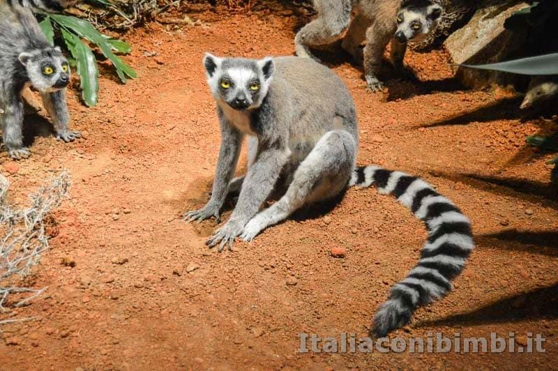 Museo di storia naturale di Pisa - lemuri