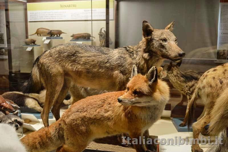 Museo di storia naturale di Pisa - lupo e volpe
