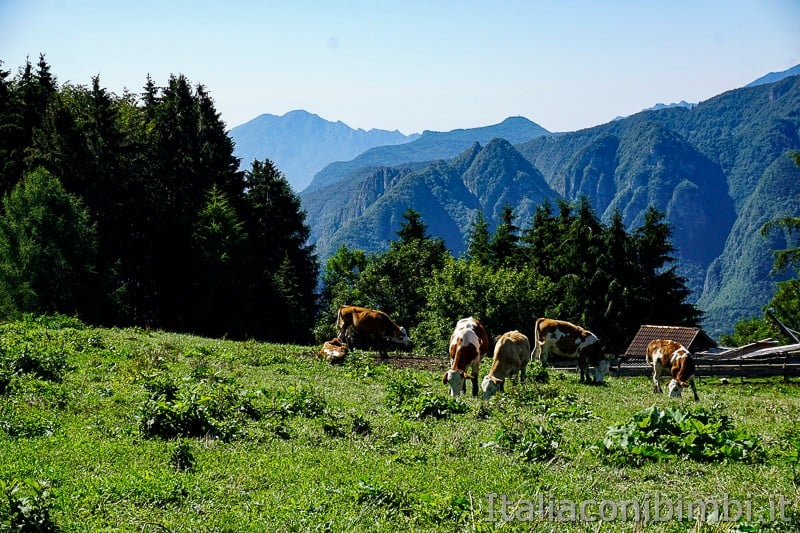 Sentiero dell'Immaginario Alpe Cimbra- mucche all'imbocco del sentiero