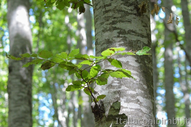 Lama Bianca Majella- alberi