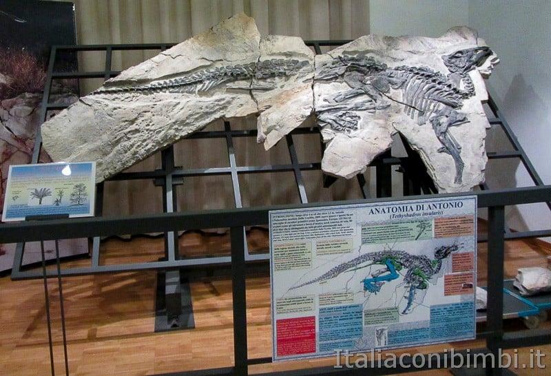 Trieste - museo di storia naturale - anatomia di Antonio