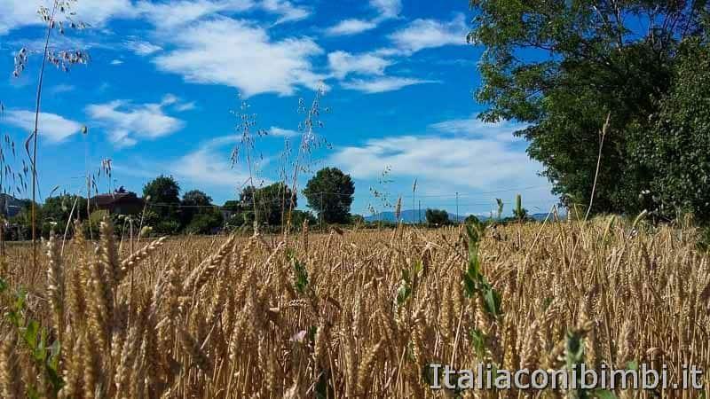 Bellaria Igea Marina - campo di grano