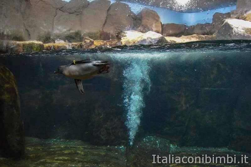 Acquario di Cattolica - pinguino che nuota