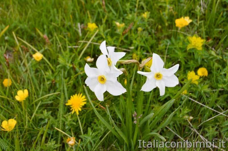 Altopiano del Voltigno - fiori