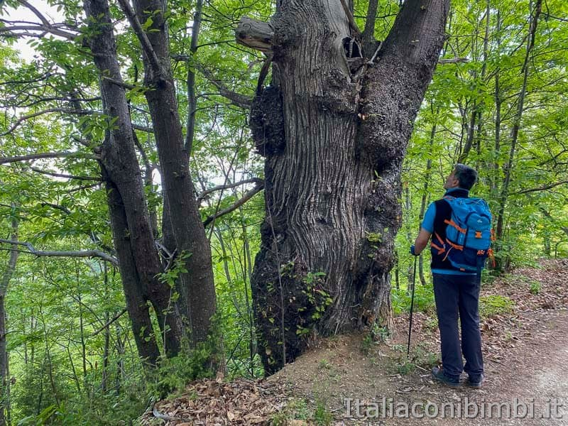Anello Fleno San Gregorio - albero secolare