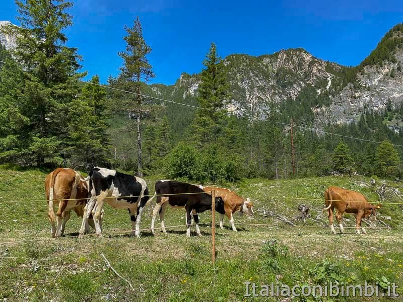 Pista ciclabile - mucche
