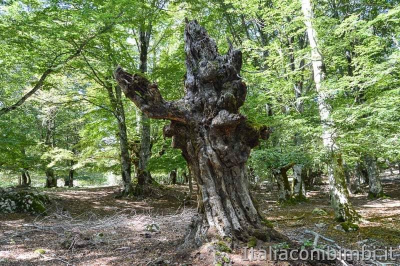 Bosco della difesa - albero sentiero C 2