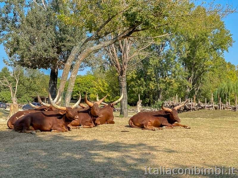 Parco Natura Viva - bufali