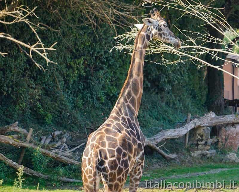 Parco Natura Viva - giraffa