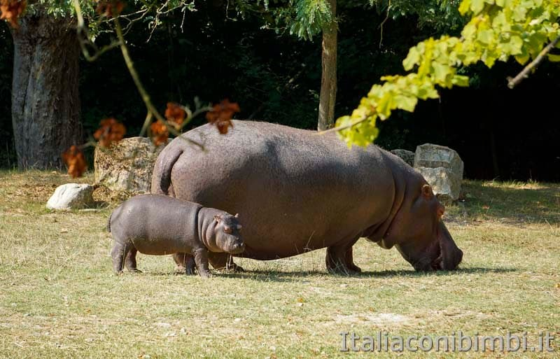 Parco Natura Viva - ippopotami