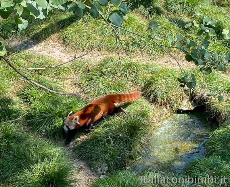 Parco Natura Viva - panda rosso